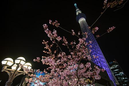 東京スカイツリー河津桜の夜景